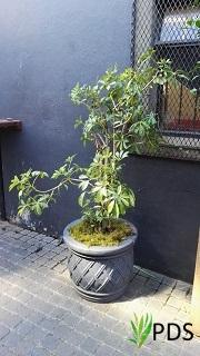 Schefflera in grey pot
