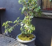 Schefflera in grey pot